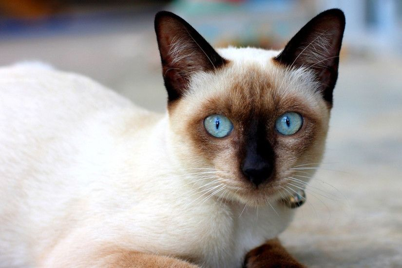 Awesome Index Of /cdn/hdwallpapers/904 Also Mesmerizing Siamese Cats With  Blue Eyes