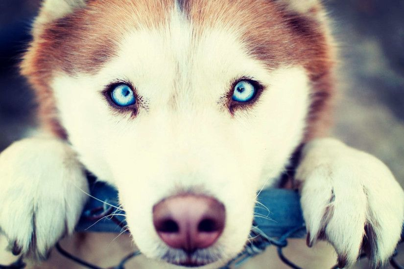 Blue Eye Siberian Husky Hd Wallpaper Hdwallwide