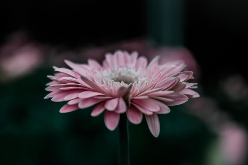 378 0: Flower Pink Calm Nature Bokeh iPad Air wallpaper