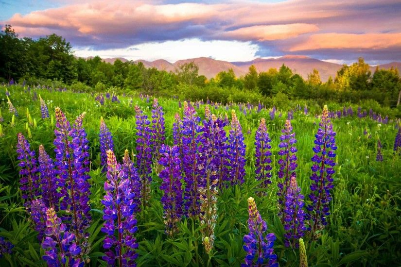 Flowers Meadow Hampshire Lupine New Nature Wallpaper High Resolution