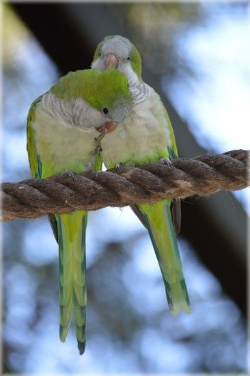 2 white and green parakeet
