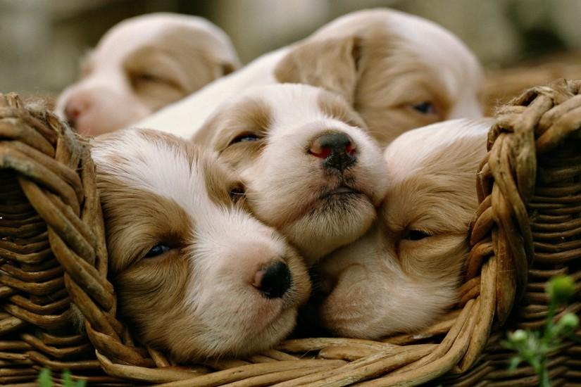 Cute Baby Dogs HD Wallpaper For Laptop