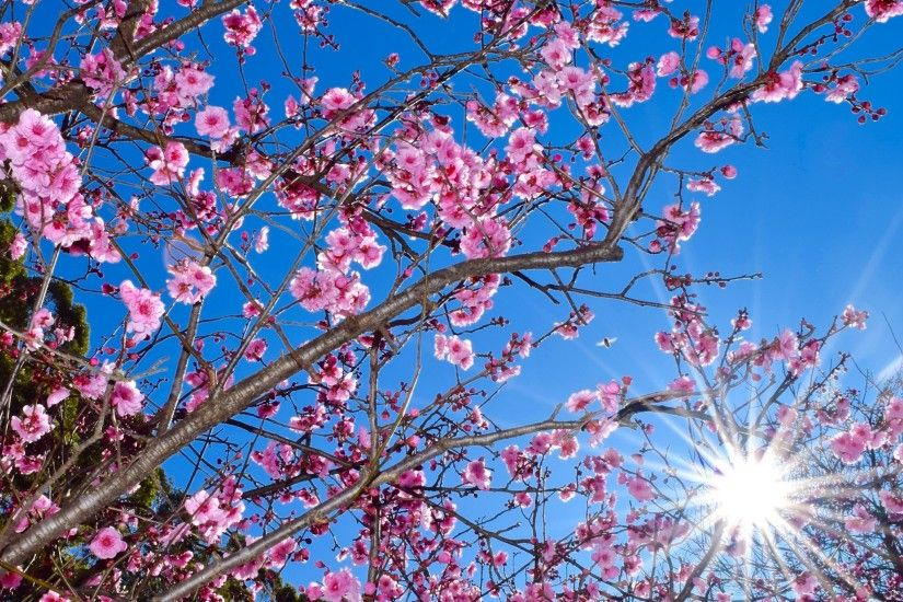 Cherry Blossom Desktop Wallpaper 183 ① Wallpapertag