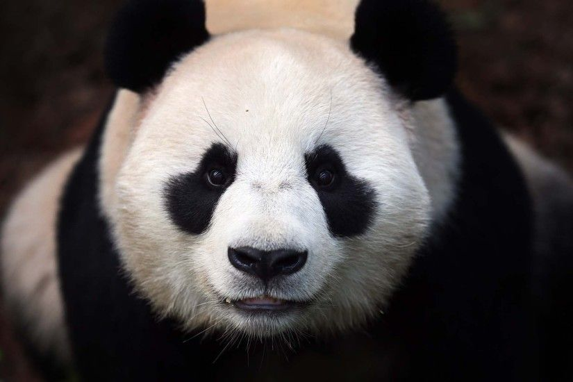 The 20 best images about Panda on Pinterest | How to draw, Panda drawing  and Wallpaper pictures