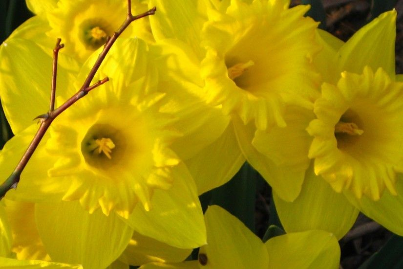 Daffodils Tag - Faces Flowers Bright Spring Smiles Nature Sunshine Warm  Garden Sun Daffodils Precious Love
