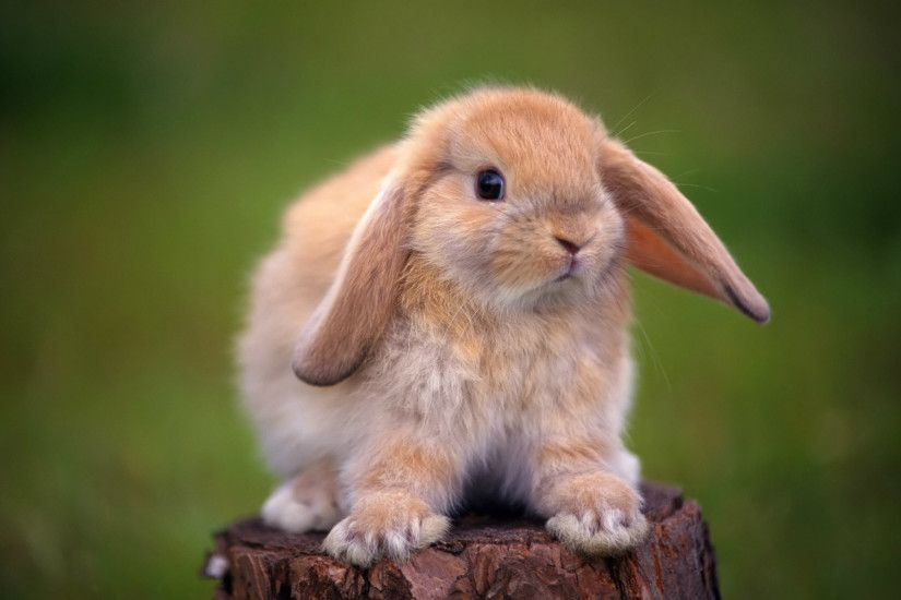 Cute Rabbit Baby HD Wallpapers