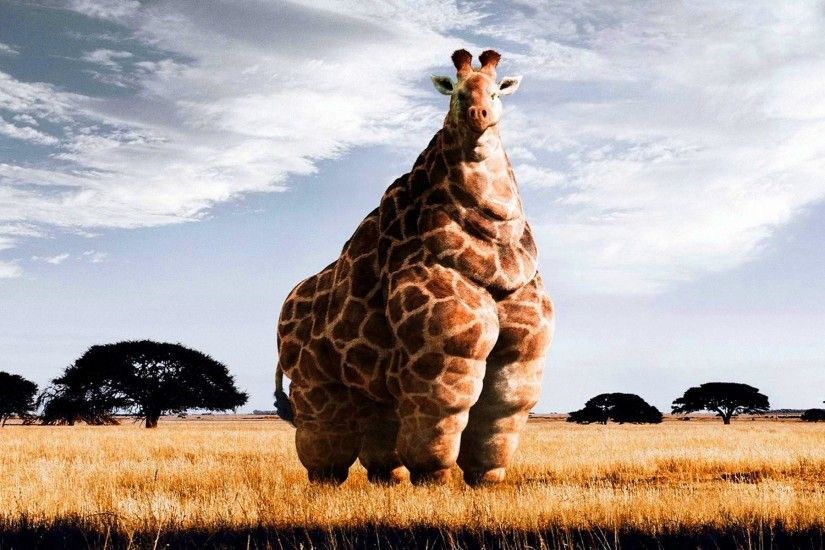 Giraffes Wallpapers 1