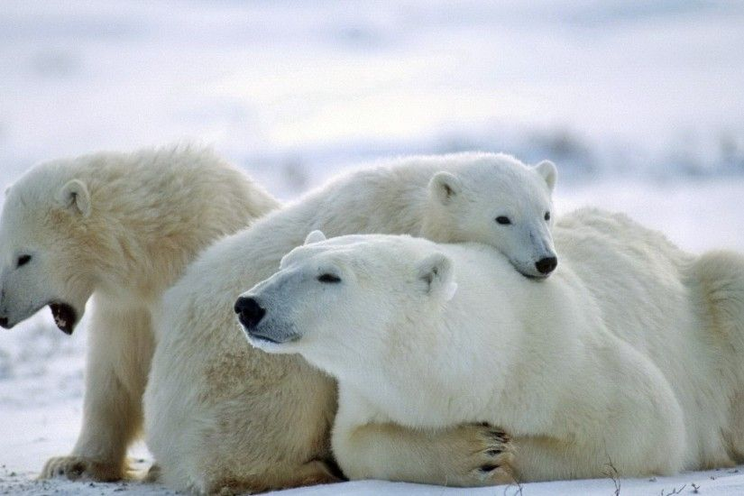 Get the latest bear, polar bear, family news, pictures and videos and learn  all about bear, polar bear, family from wallpapers4u.org, your wallpaper  news ...