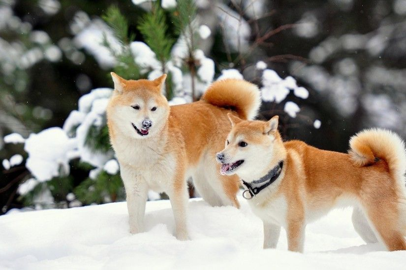 shiba inu wallpapers for mac desktop, Wardman Bush 2017-03-04