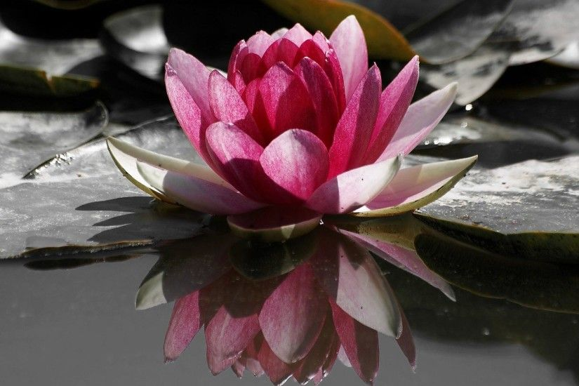 9. blue-lotus-flower-wallpaper9-600x338