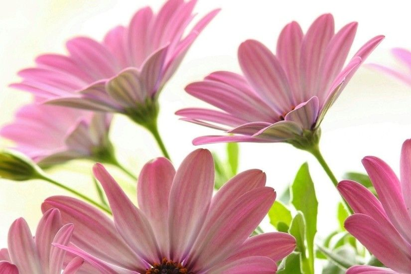 Pink Daisy Wallpapers Wallpaper 1920×1080