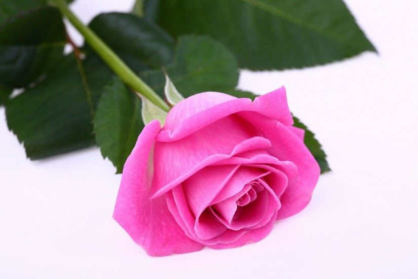 Single Pink Rose White Background