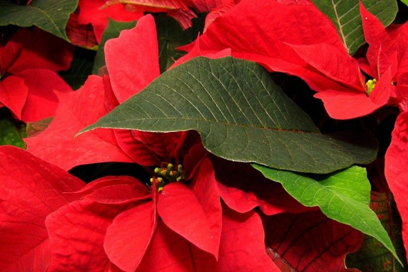 Get the latest poinsettia, flower, leaf news, pictures and videos and learn  all about poinsettia, flower, leaf from wallpapers4u.org, your wallpaper  news ...