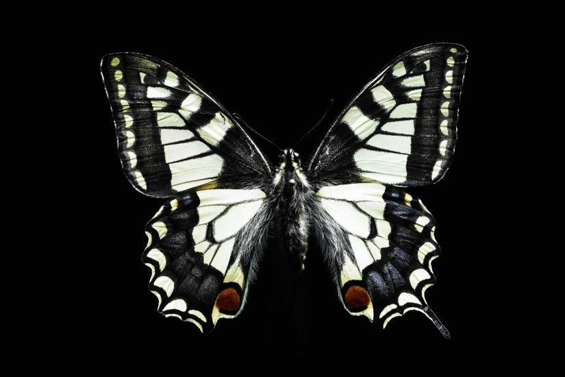 Black and white butterfly wallpapers and images - wallpapers
