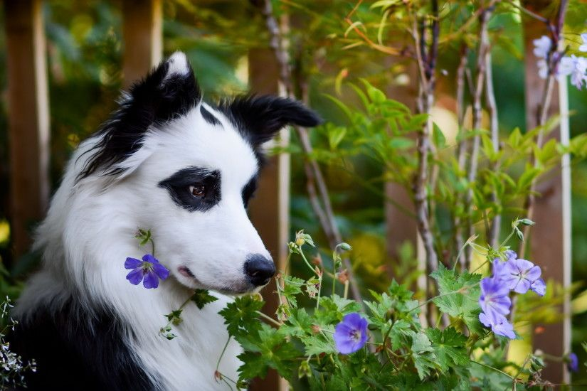 Picture Border Collie Dogs Animals 2560x1440