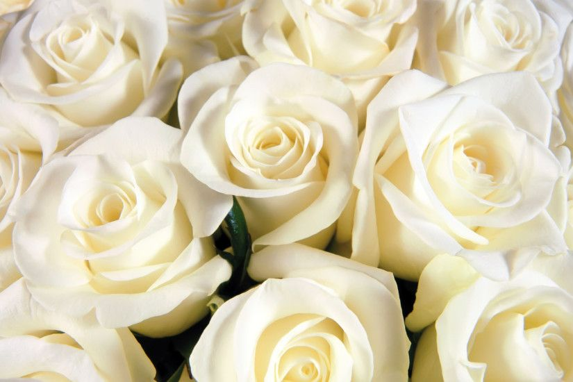 White Rose Widescreen (57 Wallpapers)