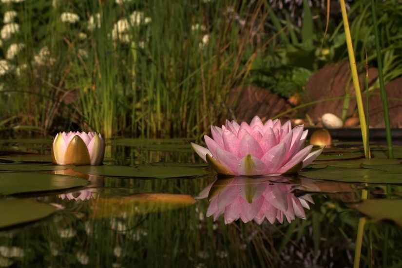 Lotus Flower Wallpaper 22580