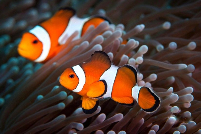 Cute Clown Fish Wallpaper Wallpaper