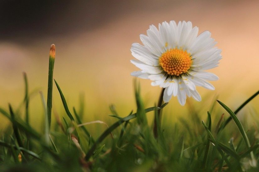 Good Morning Wallpapers Chamomile Beautiful Flower Wallpaper