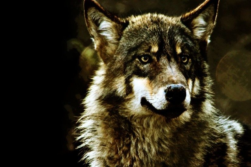 Animals - Animals Wolves Wallpapers Pictures for HD 16:9 High Definition  1080p 900p 720p