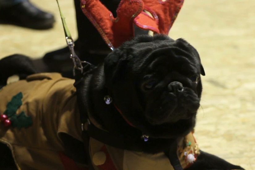 Cute wrinkly face of black pug wearing Christmas accessories, faithful dog  Stock Video Footage - VideoBlocks