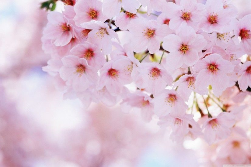 beautiful cherry blossom wallpaper. landscape natural wallpaper