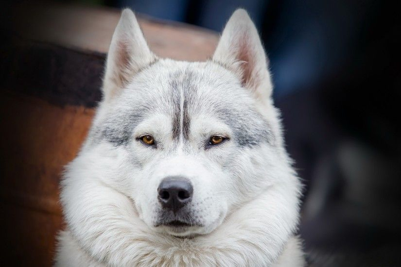 siberian husky picture for desktops - siberian husky category