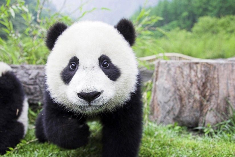 Panda Wallpaper 1920×1080 Panda Images Wallpapers (34 Wallpapers) |  Adorable Wallpapers
