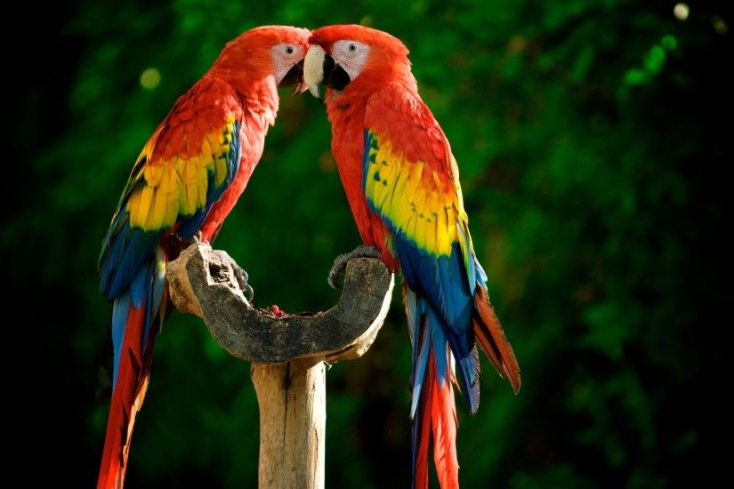 Parrot Birds Wide Wallpaper 18252
