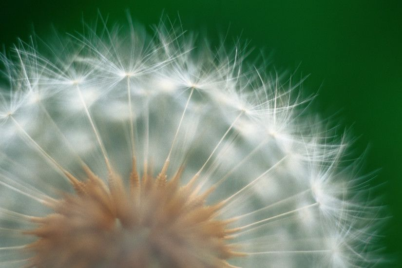 Dandelion Wallpaper HD 21988