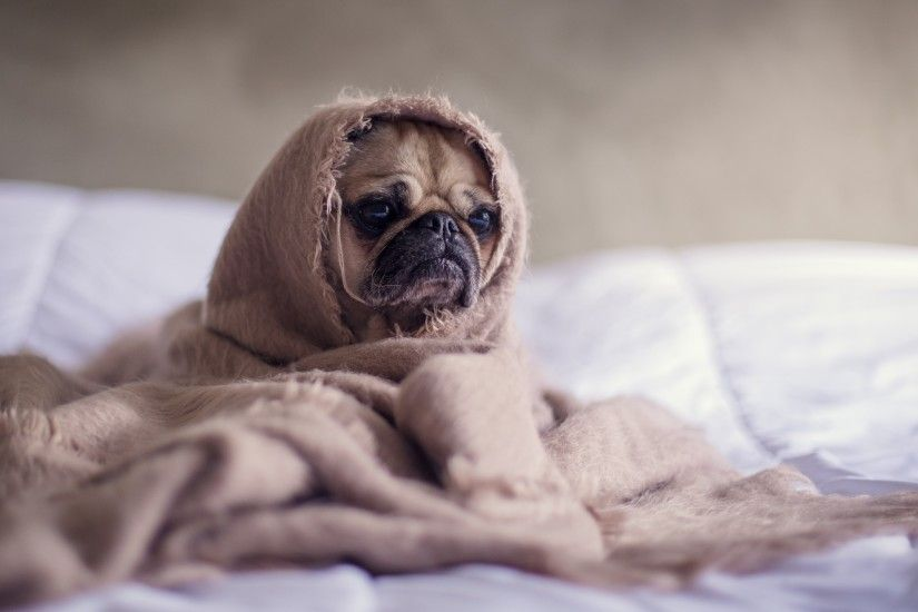 Pug, Puppy, Dog, Under Blanket