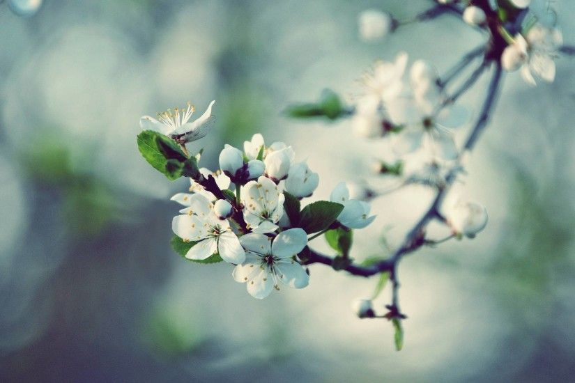 HD White Apple Blossom Wallpaper | Download Free - 49270