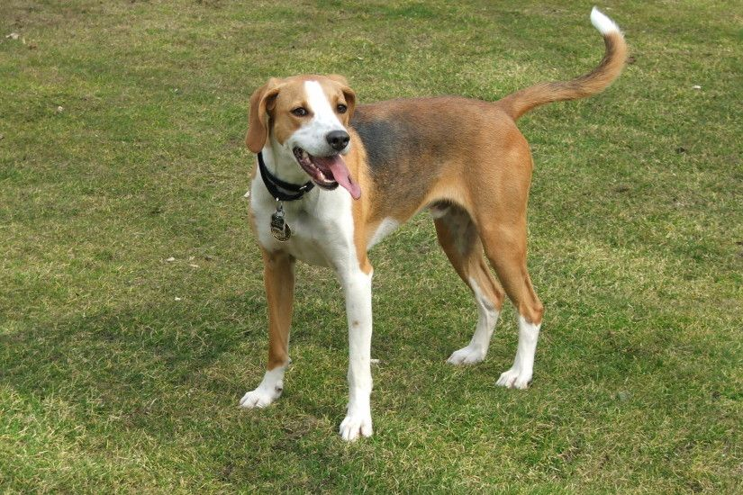 English Foxhound pic