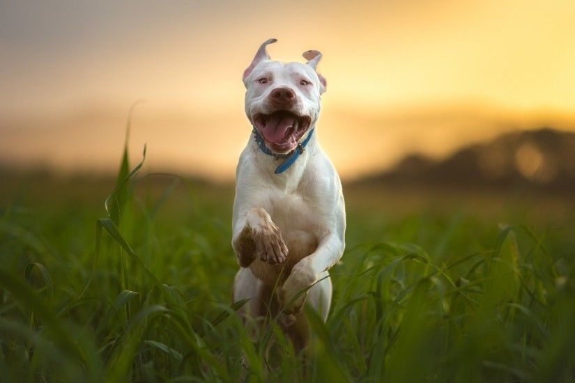 pitbull-dog-breed-running.jpg