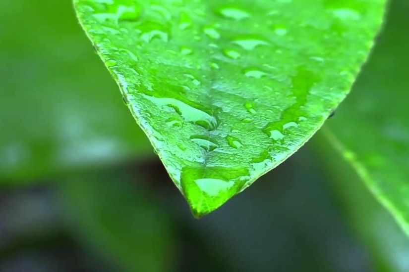 Rain on leaves wallpaper HD.