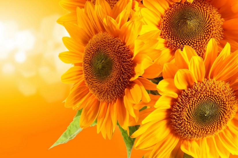sunflower wallpaper 2560x1600 photos