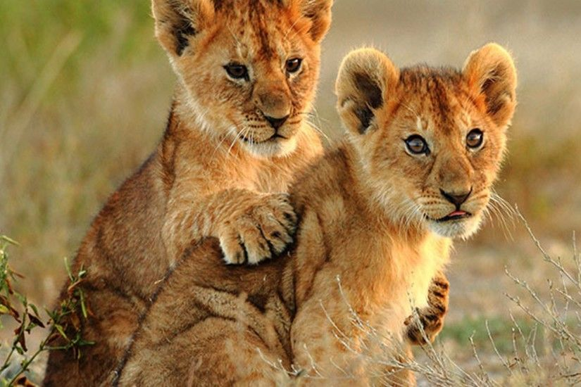 Animal - Lion Animal Cub Wallpaper
