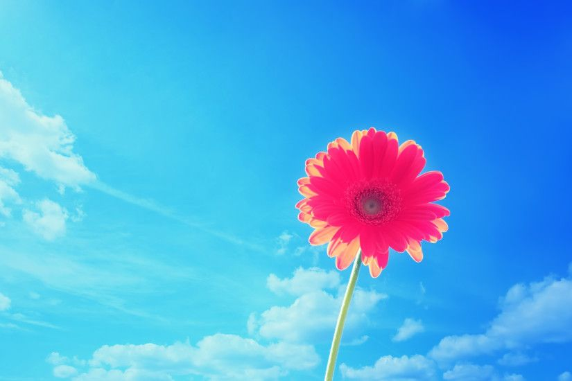 Pink gerbera flower wallpaper Flower wallpaper large size