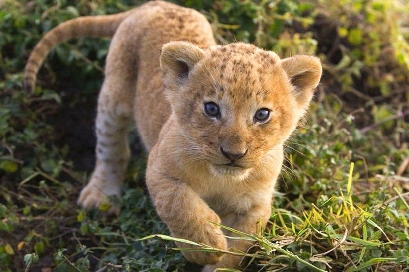 Lion Cub Wallpapers | WallPaper Glow