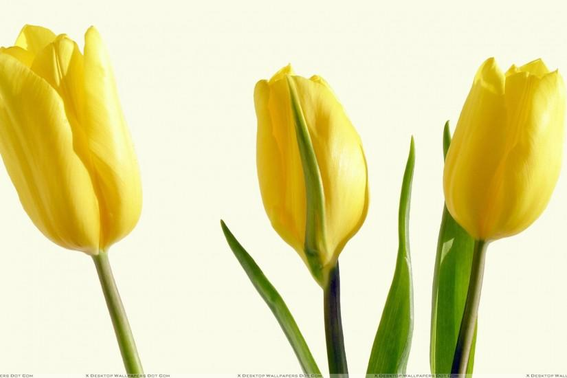 Three Yellow Tulips And White Background Wallpaper