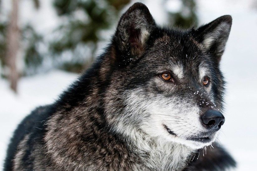 Gray Wolf Wallpapers | Pictures