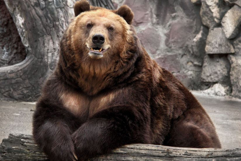 Bear HD Wallpapers Backgrounds Wallpaper