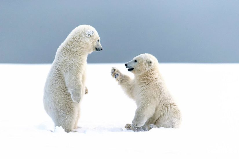 Cute Polar Bear Baby HD Wallpapers