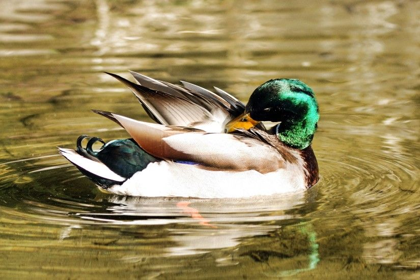 ... Mallard Duck Wallpapers (60 Wallpapers) – HD Wallpapers ...