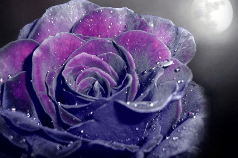 Purple Rose Background Images HD Wallpapers 1920x1080