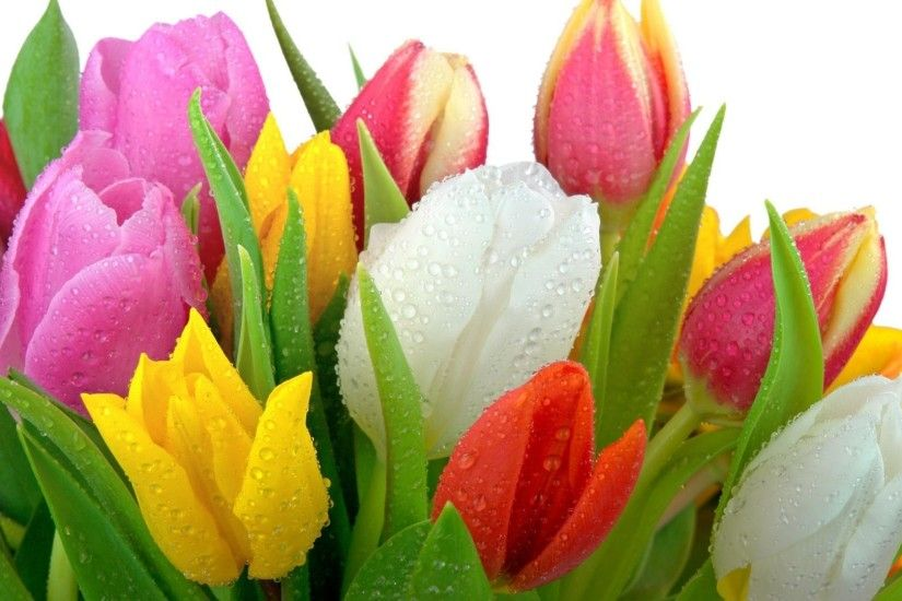 Tulip Flowers HD Wallpapers free download ...