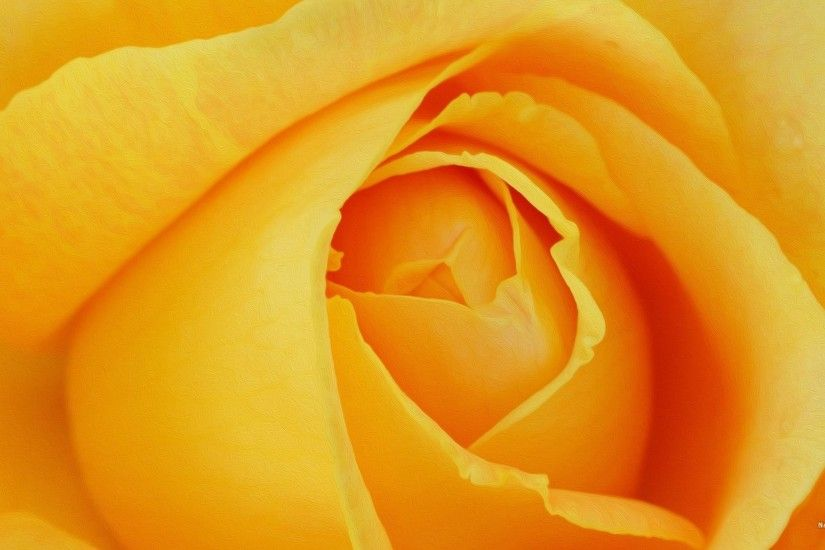 Wallpapers For > Light Yellow Rose Background