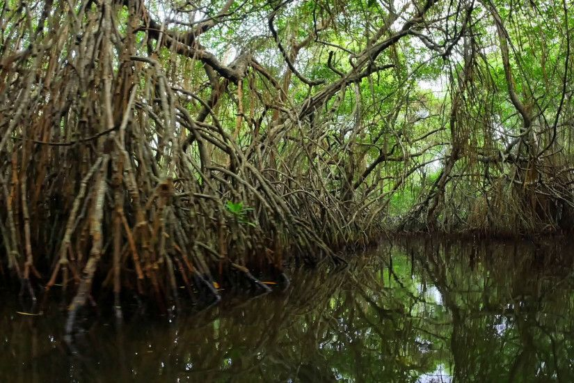 Mangrove forest ecosystem enviroment natural landscape. Amazing tropical  nature background. Wilderness of Sri Lanka Stock Video Footage - VideoBlocks