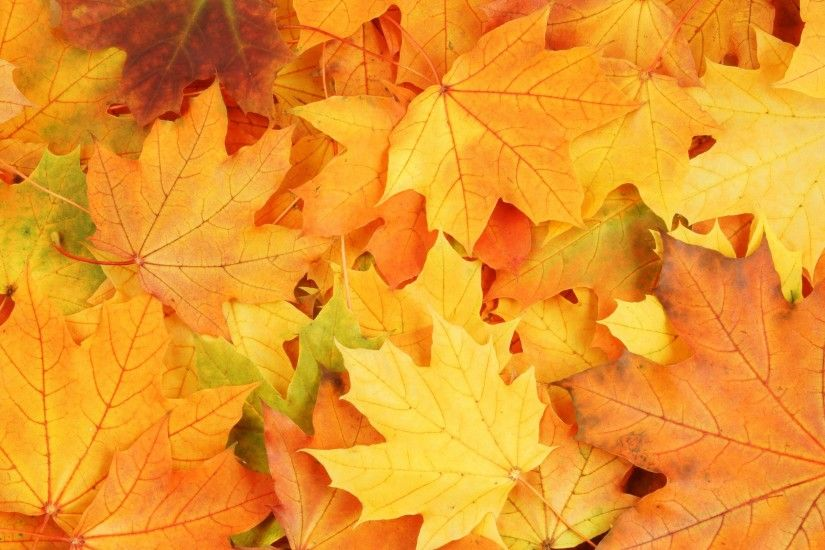 Autumn-season-yellow-maple-leaves-fall-wallpaper-background-