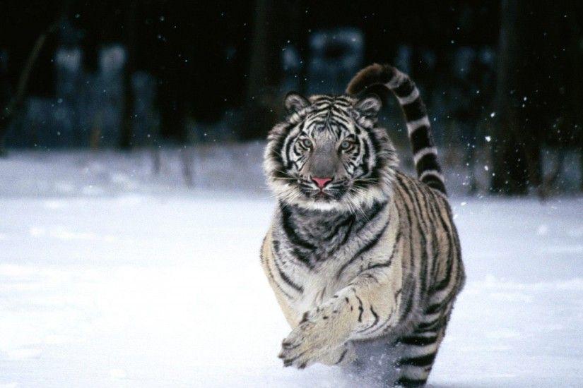 White Siberian Tiger Wallpaper 183 ① Wallpapertag